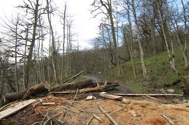 قطع درختان ارزشمند